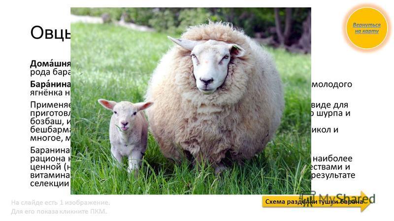 Овцы Дома́шняя овца́ парнокопытное млекопитающее из рода баранов семейства полорогих. Бара́нина мясо баранов (овец) при употреблении в пищу. Мясо молодого ягнёнка называется ягнятина. Применяется в жареном, варёном, пареном, копчёном и солёном виде д