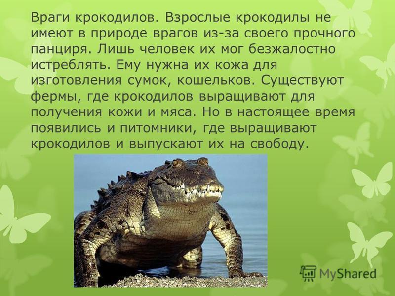 Враги крокодилов. Взрослые крокодилы не имеют в природе врагов из-за своего прочного панциря. Лишь человек их мог безжалостно истреблять. Ему нужна их кожа для изготовления сумок, кошельков. Существуют фермы, где крокодилов выращивают для получения к