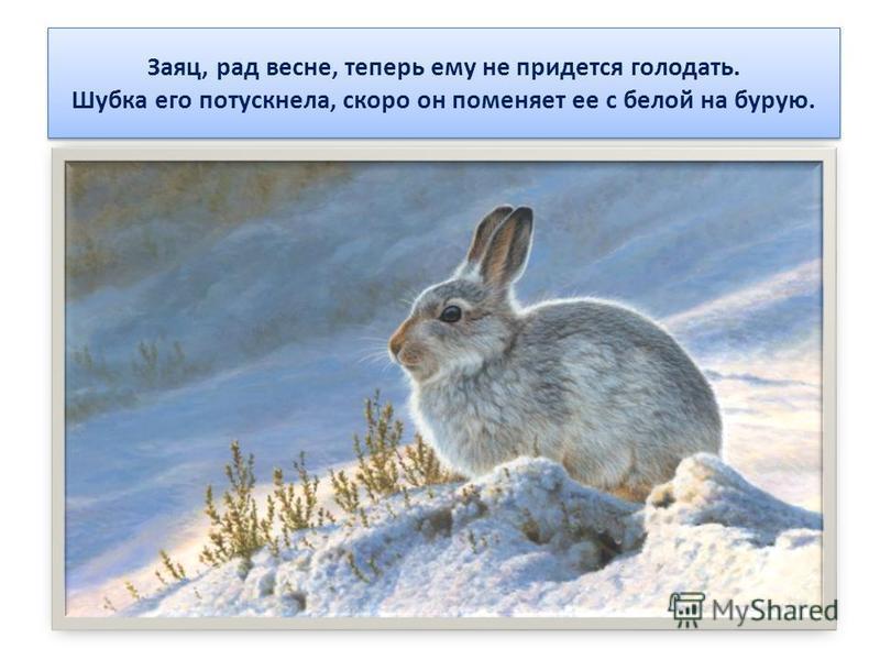 Заяц, рад весне, теперь ему не придется голодать. Шубка его потускнела, скоро он поменяет ее с белой на бурую.