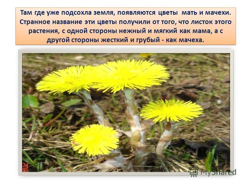 Там где уже подсохла земля, появляются цветы мать и мачехи. Странное название эти цветы получили от того, что листок этого растения, с одной стороны нежный и мягкий как мама, а с другой стороны жесткий и грубый - как мачеха.