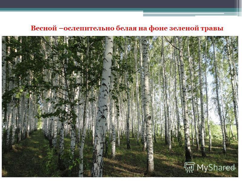 Весной –ослепительно белая на фоне зеленой травы