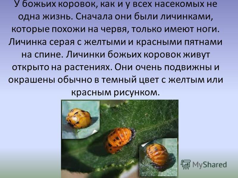 У божьих коровок, как и у всех насекомых не одна жизнь. Сначала они были личинками, которые похожи на червя, только имеют ноги. Личинка серая с желтыми и красными пятнами на спине. Личинки божьих коровок живут открыто на растениях. Они очень подвижны