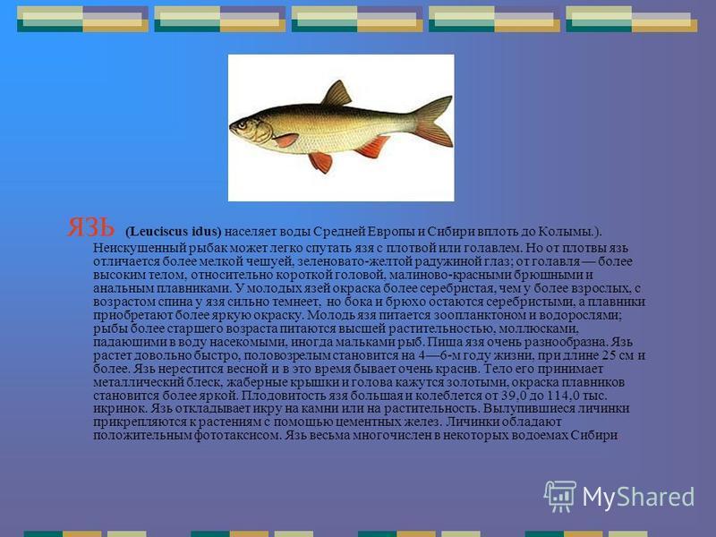 ЯЗЬ (Leuciscus idus) населяет воды Средней Европы и Сибири вплоть до Колымы.). Неискушенный рыбак может легко спутать язя с плотвой или голавлем. Но от плотвы язь отличается более мелкой чешуей, зеленовато-желтой радужиной глаз; от голавля более высо