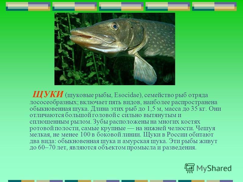 ЩУКИ (щуковые рыбы, Esocidae), семейство рыб отряда лососеобразных; включает пять видов, наиболее распространена обыкновенная щука. Длина этих рыб до 1,5 м, масса до 35 кг. Они отличаются большой головой с сильно вытянутым и сплющенным рылом. Зубы ра