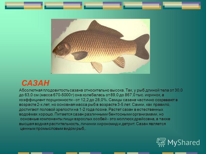 САЗАН Абсолютная плодовитость сазана относительно высока. Так, у рыб длиной тела от 30,0 до 63,0 см (масса 670-5000 г) она колебалась от 89,0 до 867,0 тыс. икринок, а коэффициент порционности - от 12,2 до 28,0%. Самцы сазана частично созревают в возр