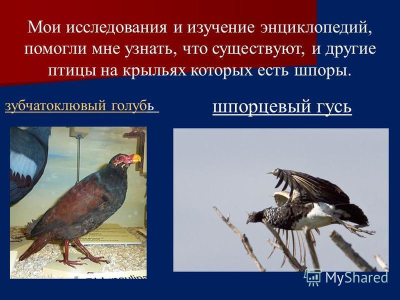Мои исследования и изучение энциклопедий, помогли мне узнать, что существуют, и другие птицы на крыльях которых есть шпоры. зубчатоклювый голубзубчатоклювый голубь шпорцевый гусь