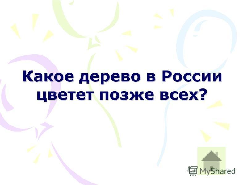 Какое дерево в России цветет позже всех?