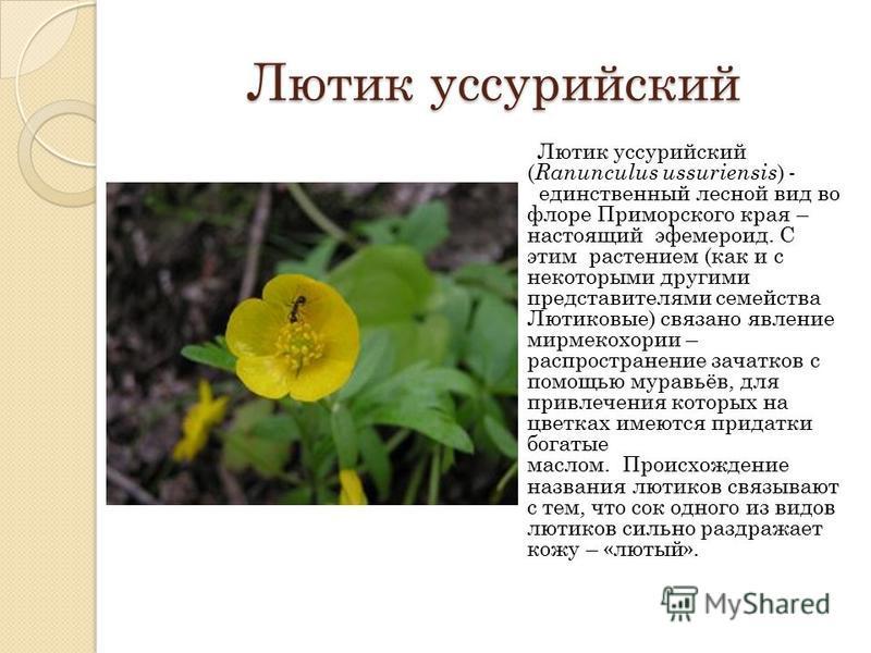 Лютик уссурийский Лютик уссурийский ( Ranunculus ussuriensis ) - единственный лесной вид во флоре Приморского края – настоящий эфемероид. С этим растением (как и с некоторыми другими представителями семейства Лютиковые) связано явление мирмекохории –