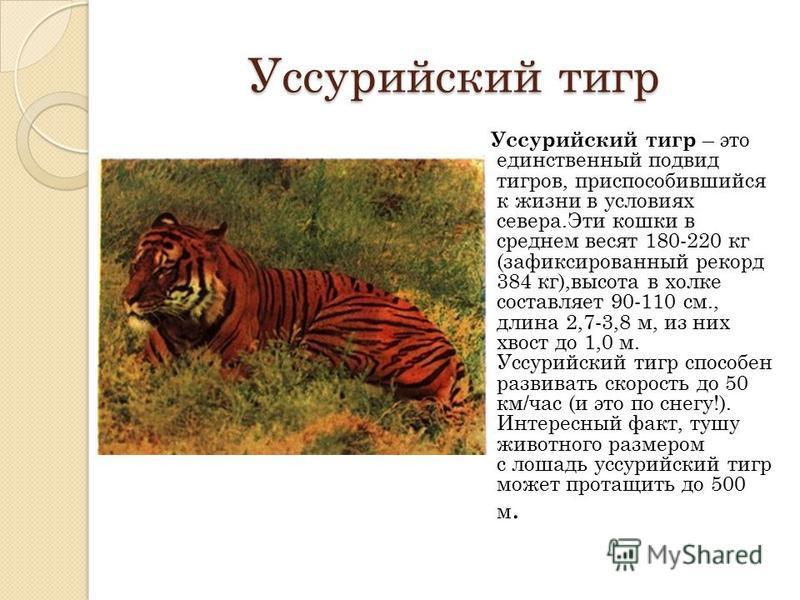 Уссурийский тигр Уссурийский тигр – это единственный подвид тигров, приспособившийся к жизни в условиях севера.Эти кошки в среднем весят 180-220 кг (зафиксированный рекорд 384 кг),высота в холке составляет 90-110 см., длина 2,7-3,8 м, из них хвост до