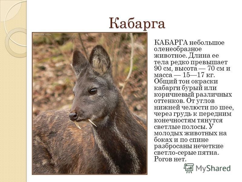 Кабарга КАБАРГА небольшое оленеобразное животное. Длина ее тела редко превышает 90 см, высота 70 см и масса 1517 кг. Общий тон окраски кабарги бурый или коричневый различных оттенков. От углов нижней челюсти по шее, через грудь к передним конечностям