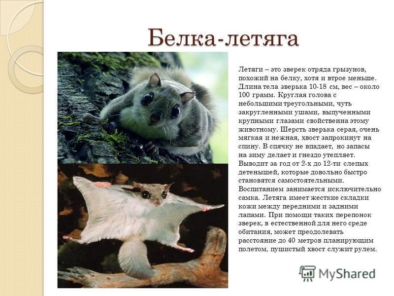 Белка-летяга Летяги – это зверек отряда грызунов, похожий на белку, хотя и втрое меньше. Длина тела зверька 10-18 см, вес – около 100 грамм. Круглая голова с небольшими треугольными, чуть закругленными ушами, выпученными крупными глазами свойственна