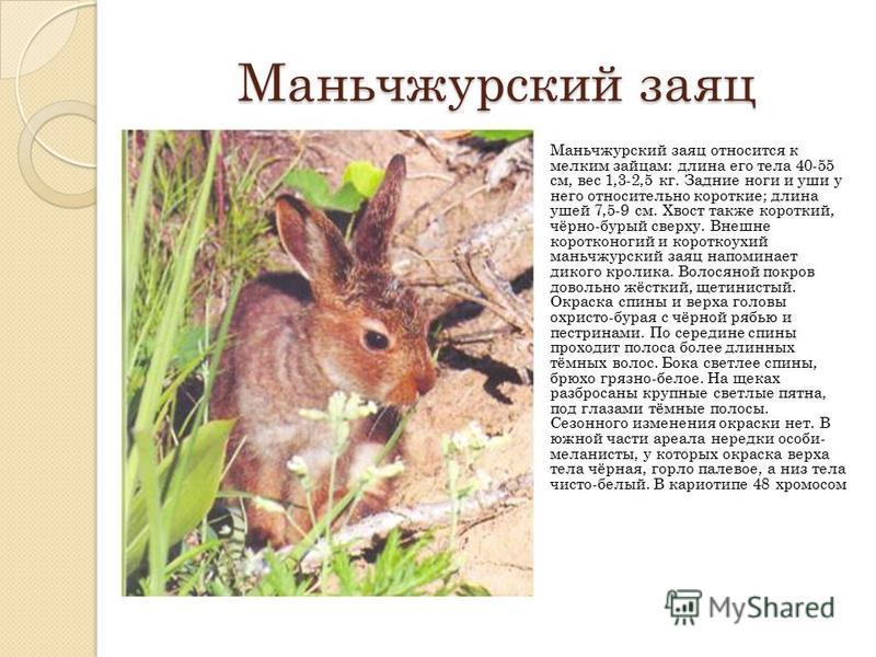 Маньчжурский заяц Маньчжурский заяц относится к мелким зайцам: длина его тела 40-55 см, вес 1,3-2,5 кг. Задние ноги и уши у него относительно короткие; длина ушей 7,5-9 см. Хвост также короткий, чёрно-бурый сверху. Внешне коротконогий и короткоухий м
