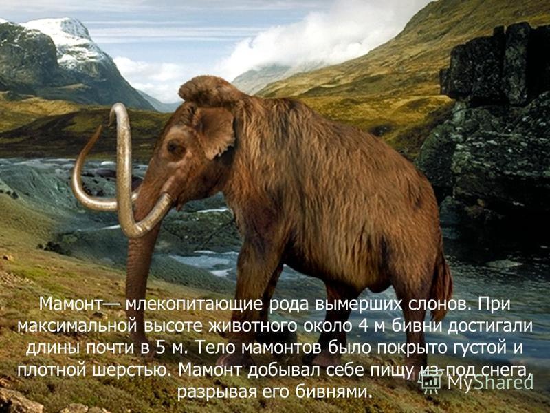 Мамонт млекопитающие рода вымерших слонов. При максимальной высоте животного около 4 м бивни достигали длины почти в 5 м. Тело мамонтов было покрыто густой и плотной шерстью. Мамонт добывал себе пищу из-под снега, разрывая его бивнями.