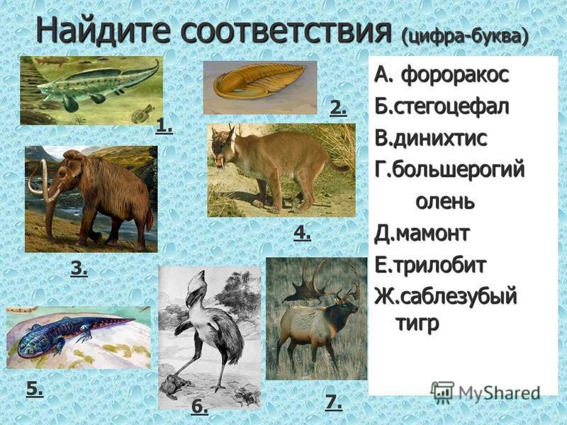 Найдите соответствия (цифра-буква) А. фороракос Б.стегоцефалы.динихтисГ.большерогий олень оленьД.мамонтЕ.трилобит Ж.саблезубый тигр 1. 4. 2. 3. 7. 5. 6.