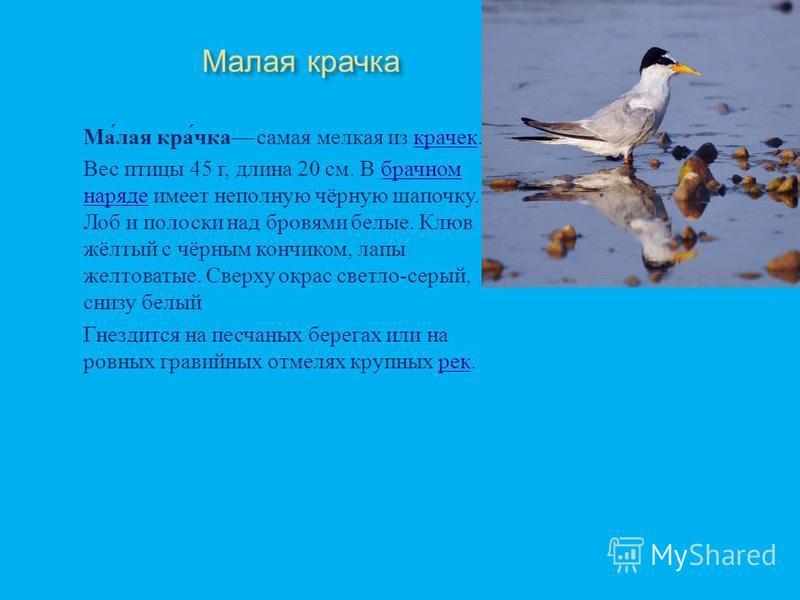 Чеграва самая крупная птица семейства крючковых. Единственный представитель рода птица семейства крючковых Размах крыльев чегравы от 127 до 140 см, длина 48 56 см, вес 500700 г. В отличие от других крачек летают, медленно взмахивая крыльями. Отличите