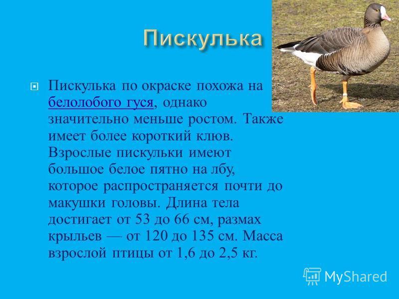 У взрослых птиц бедое оперение, очень длинная шея, вытянутое тудовище, тедо и годова средней величины с оранжево - красным клювом, у основания которого есть характерный чёрный нарост. Шипуном назван из - за звука, издаваемого при раздражении. В длину