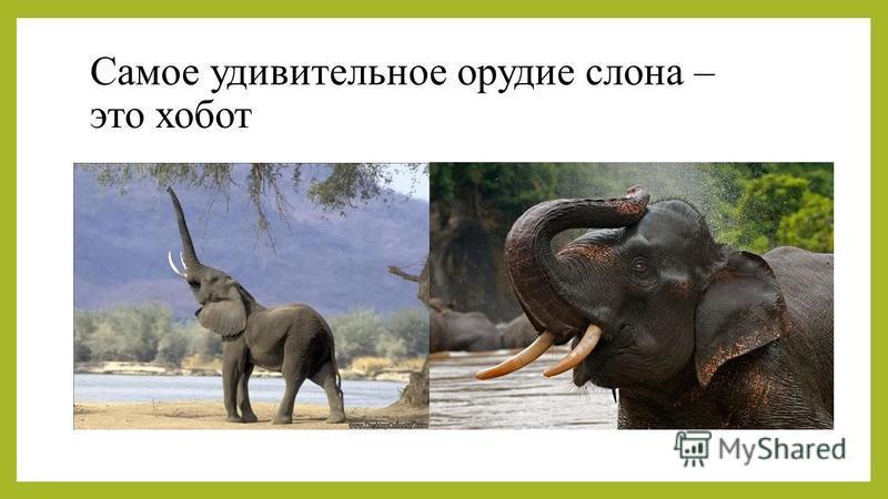 Самое удивительное орудие слона – это хобот