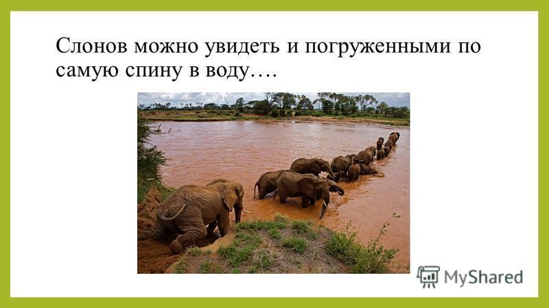 Слонов можно увидеть и погруженными по самую спину в воду….