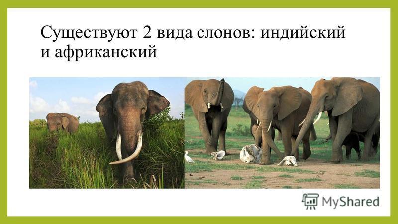 Существуют 2 вида слонов: индийский и африканский