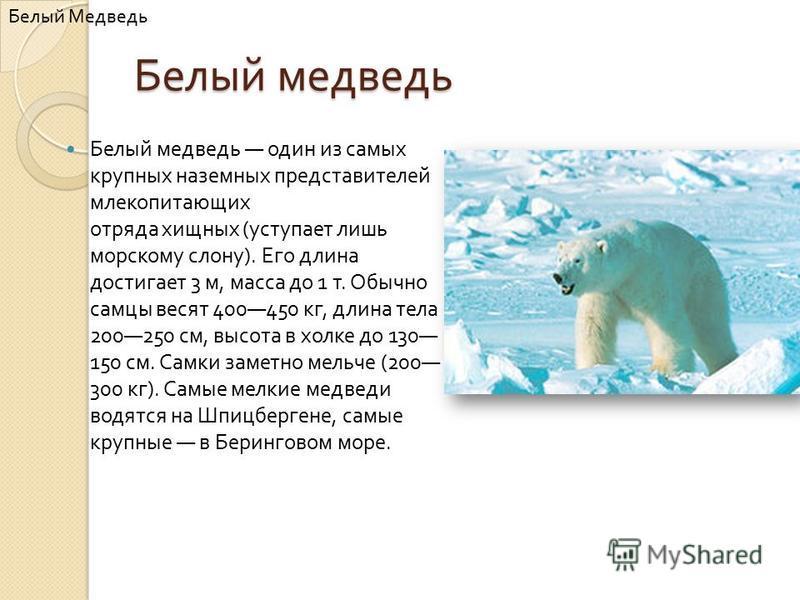 Белый медведь Белый медведь один из самых крупных наземных представителей млекопитающих отряда хищных ( уступает лишь морскому слону ). Его длина достигает 3 м, масса до 1 т. Обычно самцы весят 400450 кг, длина тела 200250 см, высота в холке до 130 1