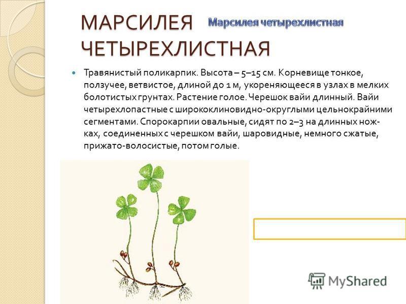 МАРСИЛЕЯ ЧЕТЫРЕХЛИСТНАЯ МАРСИЛЕЯ ЧЕТЫРЕХЛИСТНАЯ Травянистый поликарпик. Высота – 5–15 см. Корневище тонкое, ползучее, ветвистое, длиной до 1 м, укореняющееся в узлах в мелких болотистых грунтах. Растение голое. Черешок вайи длинный. Вайи четырехлопас