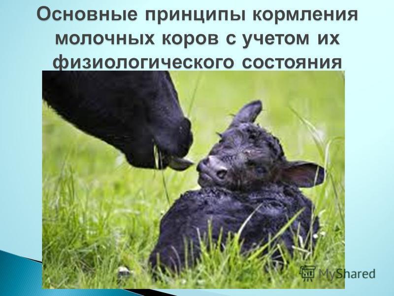 Основные принципы кормления молочных коров с учетом их физиологического состояния
