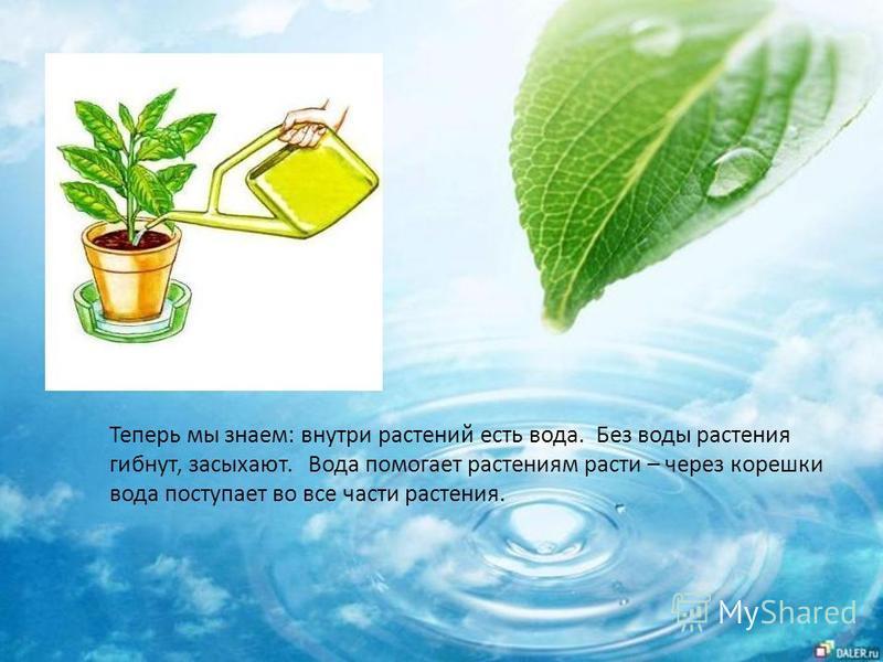 Теперь мы знаем: внутри растений есть вода. Без воды растения гибнут, засыхают. Вода помогает растениям расти – через корешки вода поступает во все части растения.