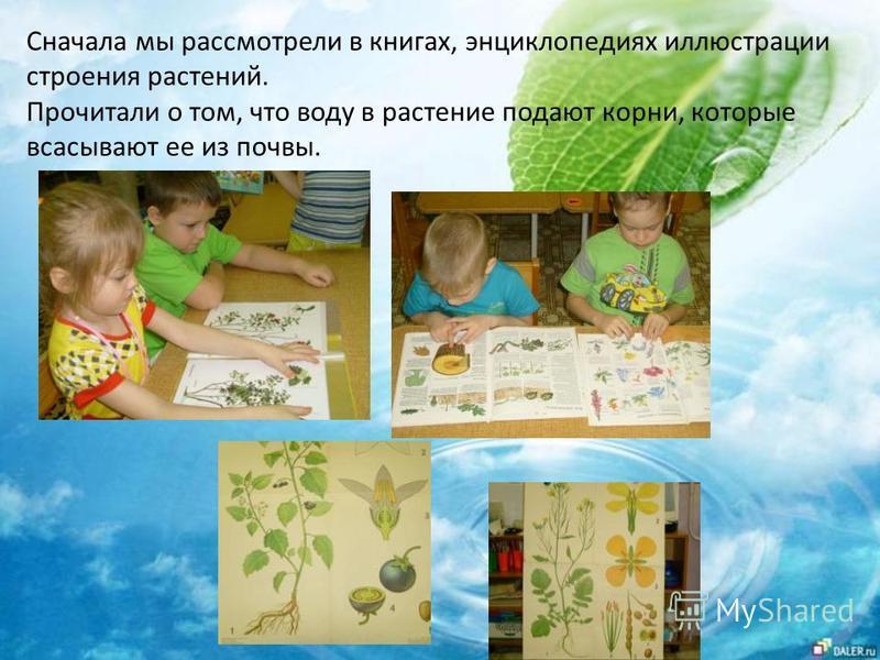Сначала мы рассмотрели в книгах, энциклопедиях иллюстрации строения растений. Прочитали о том, что воду в растение подают корни, которые всасывают ее из почвы.