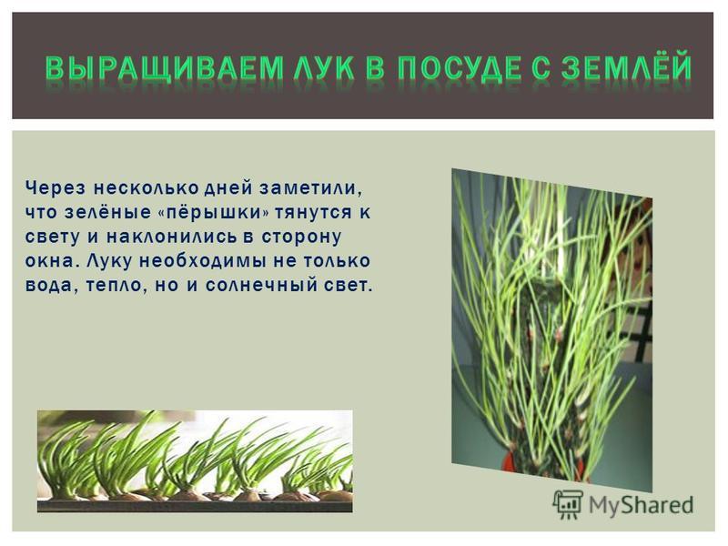 Выращиваем лук в посуде с водой Да, это действительно корни лука и место, где они растут, называется «донце», как дно у кастрюльки. Они похожи на ниточки. Благодаря им, лучок питается, растет.