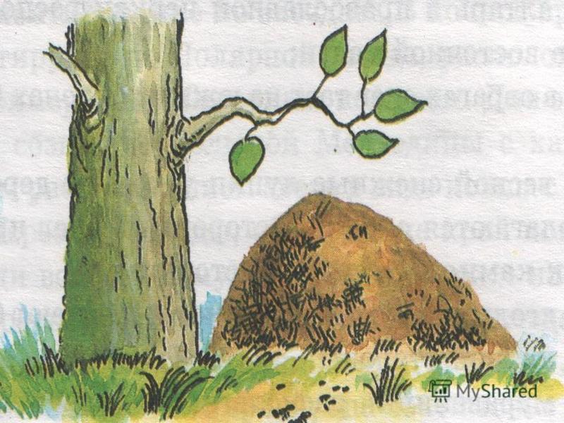 Ориентирование по пням и муравейникам Пни отдельно стоящих деревьев имеют кольца шире к югу Муравейники располагаются с южной стороны деревьев, пней, камней