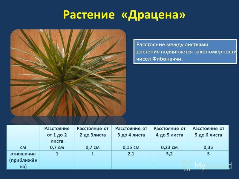 Растение «Драцена» Расстояние между листьями растения подчиняется закономерности чисел Фибоначчи. Расстояние между листьями растения подчиняется закономерности чисел Фибоначчи.