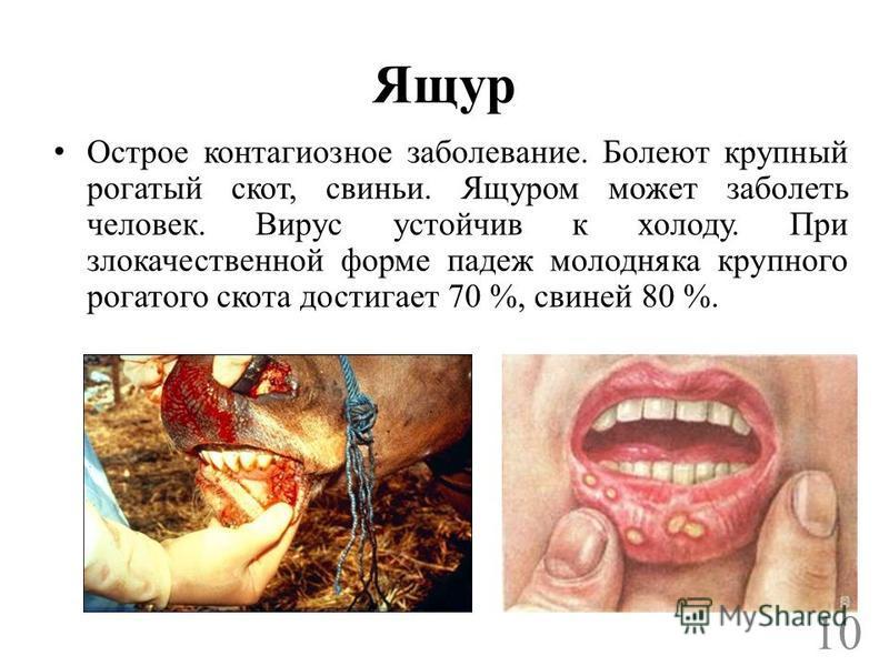 Ящур Острое контагиозное заболевание. Болеют крупный рогатый скот, свиньи. Ящуром может заболеть человек. Вирус устойчив к холоду. При злокачественной форме падеж молодняка крупного рогатого скота достигает 70 %, свиней 80 %. 10