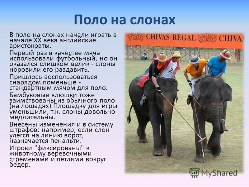 Поло на слонах В поло на слонах начали играть в начале ХХ века английские аристократы. Первый раз в качестве мяча использовали футбольный, но он оказался слишком велик - слоны норовили его раздавить. Пришлось воспользоваться снарядом поменьше - станд
