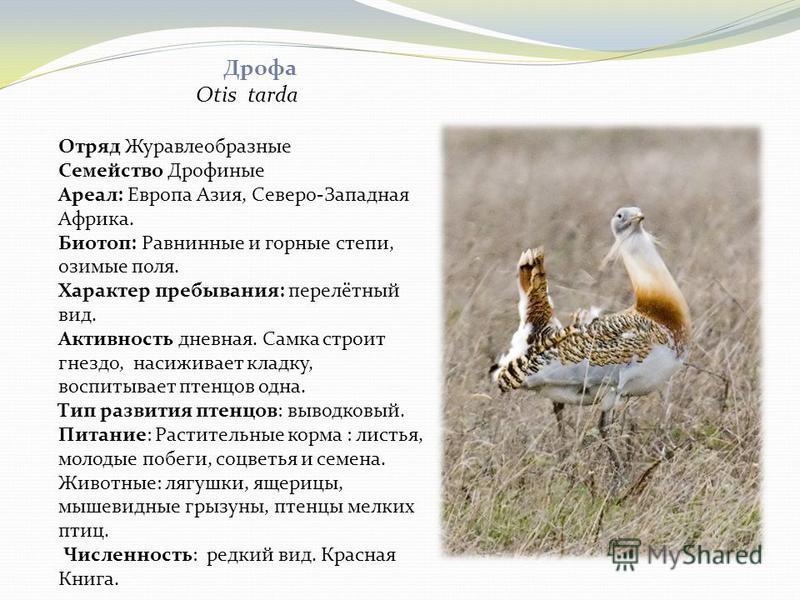 Дрофа Otis tarda Отряд Журавлеобразные Семейство Дрофиные Ареал: Европа Азия, Северо-Западная Африка. Биотоп: Равнинные и горные степи, озимые поля. Характер пребывания: перелётный вид. Активность дневная. Самка строит гнездо, насиживает кладку, восп