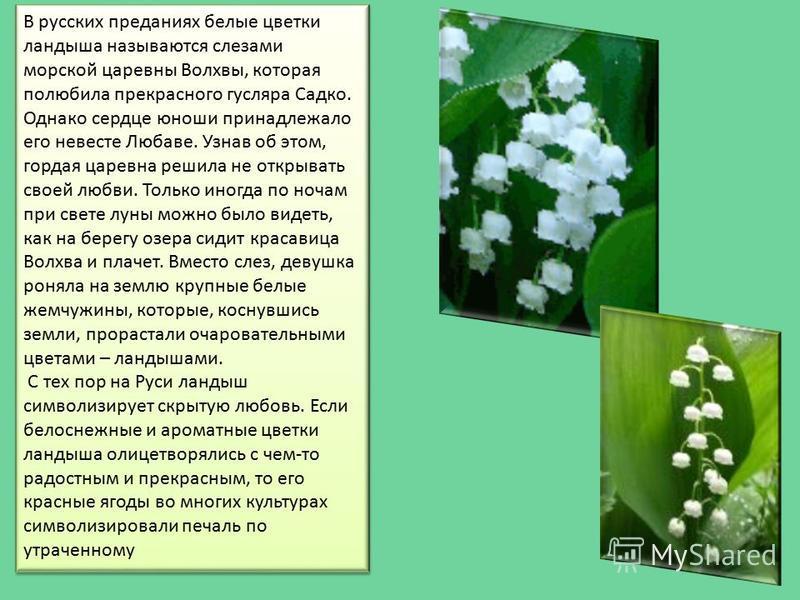 В русских преданиях белые цветки ландыша называются слезами морской царевны Волхвы, которая полюбила прекрасного гусляра Садко. Однако сердце юноши принадлежало его невесте Любаве. Узнав об этом, гордая царевна решила не открывать своей любви. Только