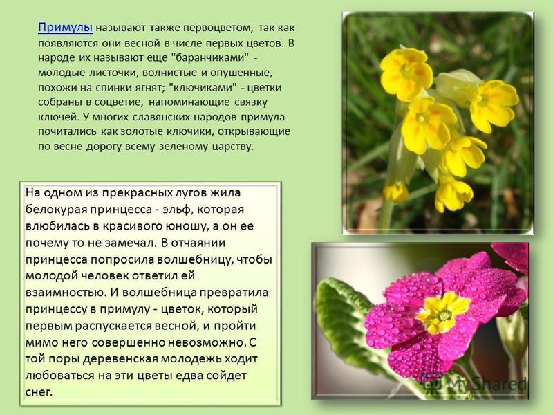 Примулы Примулы называют также первоцветом, так как появляются они весной в числе первых цветов. В народе их называют еще