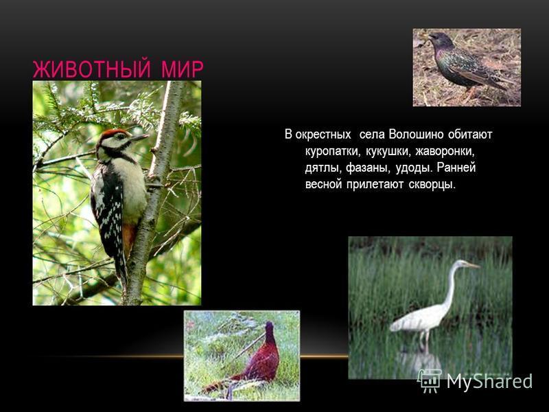 ЖИВОТНЫЙ МИР В окрестных села Волошино обитают куропатки, кукушки, жаворонки, дятлы, фазаны, удоды. Ранней весной прилетают скворцы.