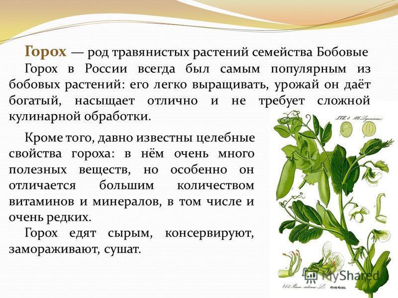 Горох род травянистых растений семейства Бобовые Горох в России всегда был самым популярным из бобовых растений: его легко выращивать, урожай он даёт богатый, насыщает отлично и не требует сложной кулинарной обработки. Кроме того, давно известны целе