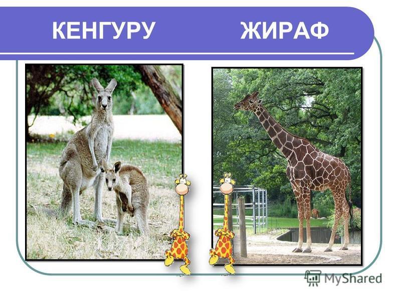 КЕНГУРУ ЖИРАФ