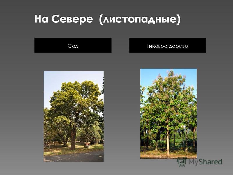 Тиковое дерево Сал