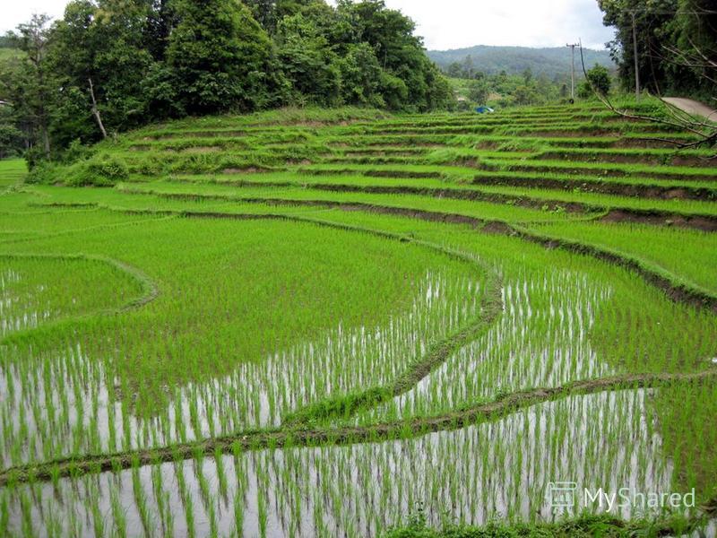Таиланд один из крупнейших в мире производителей и экспортёров риса: ежегодно страна поставляет на мировой рынок до 9 миллионов тонн риса различных сортов Другие популярные культуры маниок, кукуруза, бататы, ананасы, кокосы, бананы. Большие доходы ст