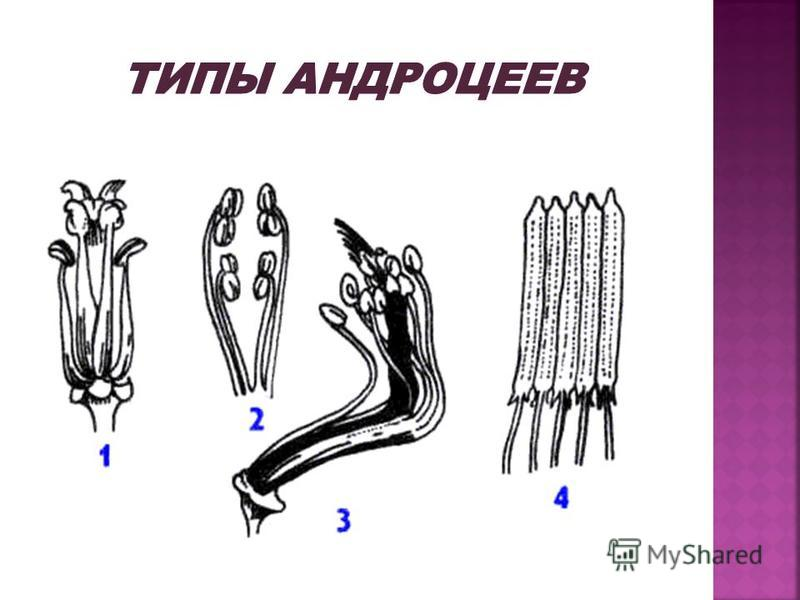 Андроцей из 5 тычинок, чередующихся с лепестками. Основания тычиночных нитей прирастают к трубке венчика. Пыльники неподвижные, линейные, интрорзные, склеенные в трубку, окружающую столбик; у некоторых полыней пыльники свободные. Нередко пыльники сна