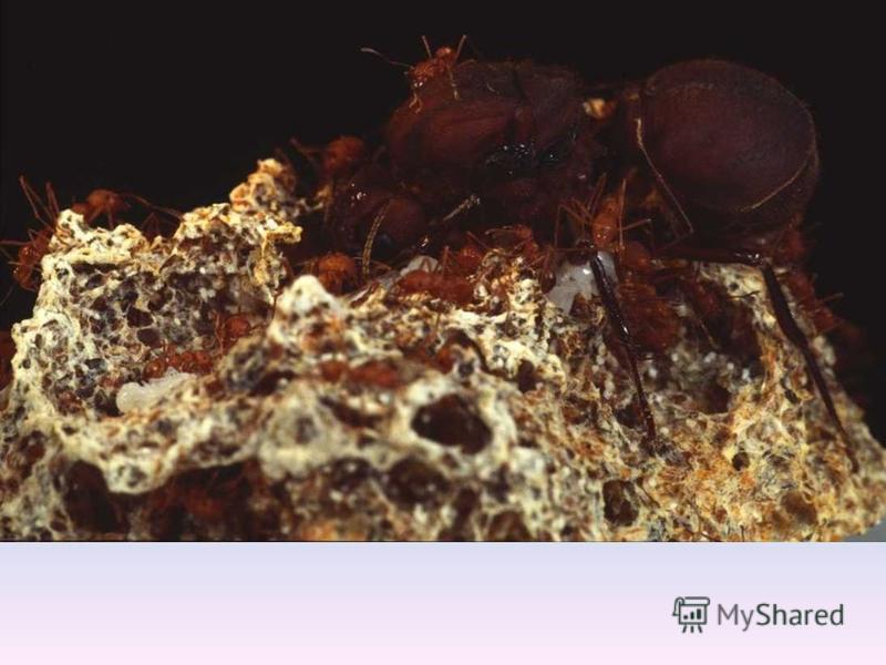 Некоторые виды муравьев умеют вести сельское хозяйство, выращивая и собирая грибы. Они даже используют пестициды чтобы отпугивать вредителей и их урожай не был испорчен.