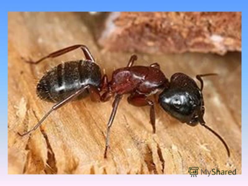 Существуют паразитические виды, которые обитают в гнёздах других муравьёв, муравьи- «рабовладельцы», содержащие в своих гнёздах «рабов» муравьёв других видов. Ряд видов приспособился к обитанию в жилищах человека