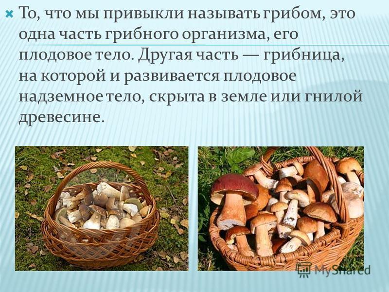 То, что мы привыкли называть грибом, это одна часть грибного организма, его плодовое тело. Другая часть грибница, на которой и развивается плодовое надземное тело, скрыта в земле или гнилой древесине.