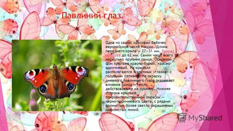 Павлиний глаз. Одна из самых красивых бабочек европейской части России. Длина переднего крыла 2731 мм. Размах крыльев до 62 мм. Самки чаще всего несколько крупнее самца. Основной фон крыльев красно-бурый, красно- коричневый. На крыльях располагаются