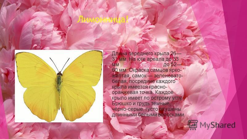 Лимонница! Длина переднего крыла 26 31 мм. На юге ареала до 33 мм. Размах крыльев до 52 60 мм. Окраска самцов ярко- жёлтая, самок зеленовато- белая; посредине каждого крыла имеется красно- оранжевая точка. Каждое крыло имеет по острому углу. Брюшко и