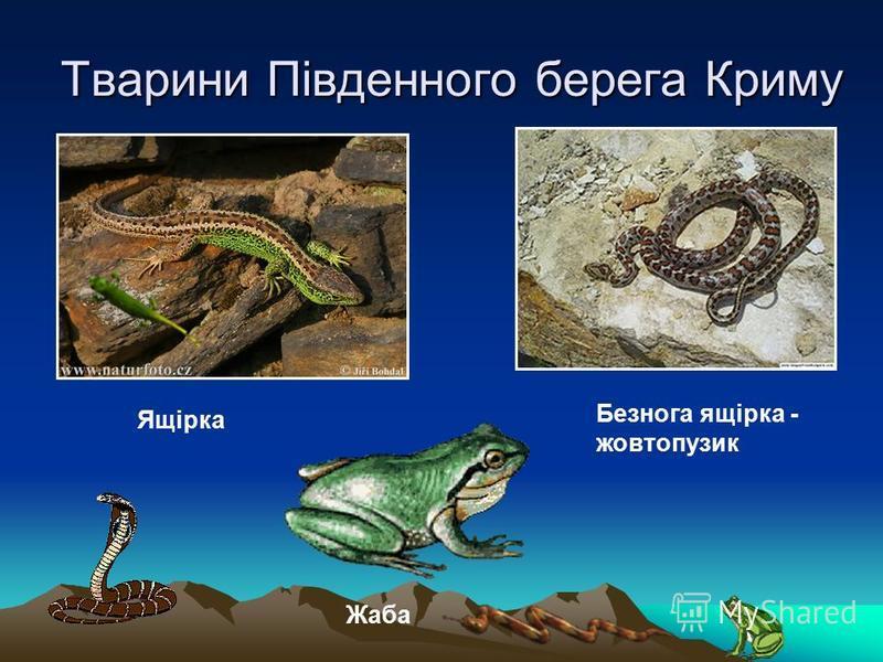 Тварини Південного берега Криму Ящірка Безнога ящірка - жовтопузик Жаба