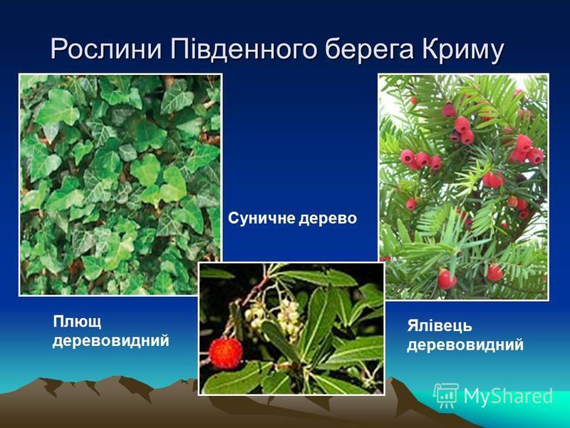 Рослини Південного берега Криму Плющ деревовидний Ялівець деревовидний Суничне дерево