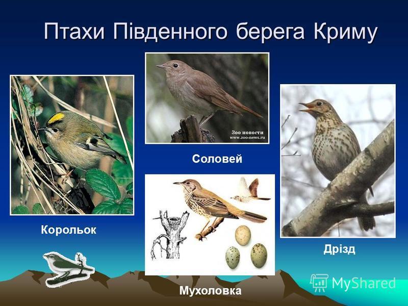 Птахи Південного берега Криму Дрізд Соловей Корольок Мухоловка